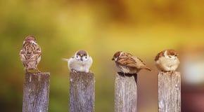 Piccoli uccelli divertenti, i passeri che si siedono con i pulcini su vecchio w fotografia stock libera da diritti
