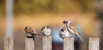 piccoli uccelli, i passeri che si siedono con i pulcini su vecchio w fotografia stock