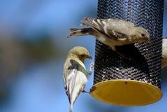 Piccoli uccelli su un alimentatore fotografie stock libere da diritti