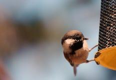 Piccoli uccelli su un alimentatore fotografia stock