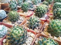 Piccoli vasi del cactus Fotografia Stock