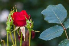 Piccolo è aumentato in un giardino Fotografie Stock Libere da Diritti