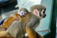 Piccolo abbraccio della scimmia del bambino la vostra mamma Immagini Stock
