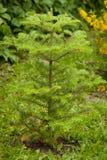 Piccolo abies dell'albero in giardino Fotografia Stock Libera da Diritti