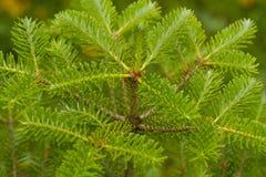 Piccolo abies sempreverde dell'albero in giardino Fotografia Stock Libera da Diritti