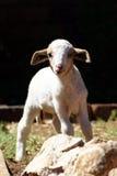 Piccolo agnello 01 Immagini Stock Libere da Diritti