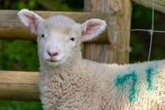 Piccolo agnello immagini stock libere da diritti