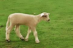 Piccolo agnello Fotografie Stock Libere da Diritti