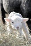 Piccolo agnello bianco. Immagine Stock Libera da Diritti