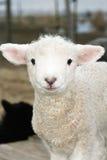 Piccolo agnello bianco. Fotografia Stock