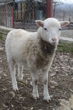Piccolo agnello sull'azienda agricola Fotografia Stock Libera da Diritti