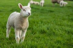 Piccolo agnello che sta da solo con la sua famiglia nei precedenti Fotografie Stock