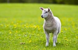 Piccolo agnello curioso Fotografia Stock