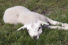 Piccolo agnello del bambino nel prato Fotografia Stock