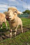 Piccolo agnello divertente desideroso Fotografia Stock
