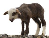 Piccolo agnello isolato Immagine Stock