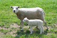 Piccolo agnello neonato con sua madre in un ploder, Paesi Bassi Fotografia Stock