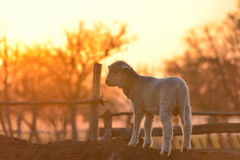 Piccolo agnello neonato nella primavera alla luce di tramonto Fotografia Stock Libera da Diritti