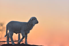 Piccolo agnello neonato nella primavera alla luce di tramonto Fotografie Stock Libere da Diritti