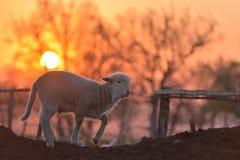 Piccolo agnello neonato nella primavera alla luce di tramonto Immagini Stock