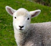 Piccolo agnello solo Fotografia Stock