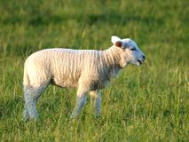 Piccolo agnello sveglio fotografia stock