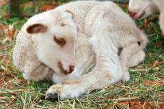 piccolo agnello sveglio del bambino Fotografia Stock Libera da Diritti