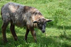 Piccolo agnello sveglio in un prato che pasce erba Fotografia Stock