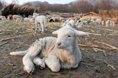 Piccolo agnello in un'azienda agricola. Fotografie Stock