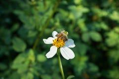 Piccolo ago spagnolo del fiore bianco con l'ape che succhia nettare fotografie stock