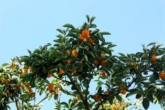 Piccolo albero cachi Immagini Stock
