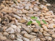 Piccolo albero che cresce fra la pila di piccole rocce Fotografia Stock
