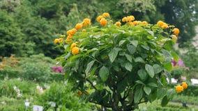 Piccolo albero con i fiori gialli su  video d archivio