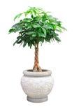 Piccolo albero decorativo asiatico isolato Fotografia Stock