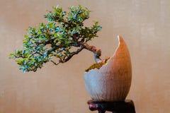 Piccolo albero dei bonsai in un vaso di fiore a forma di dell'uovo fotografie stock