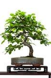 Piccolo albero del hornbeam come bonsai immagine stock libera da diritti