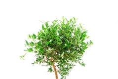 Piccolo albero del mirto Fotografia Stock