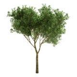 Piccolo albero del salice isolato Fotografia Stock Libera da Diritti