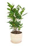 Piccolo albero dell'alloro in vaso di fiore isolato su fondo bianco Immagine Stock