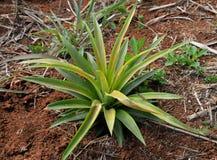 Piccolo albero dell'ananas Fotografie Stock