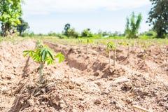 Piccolo albero della manioca Immagine Stock Libera da Diritti