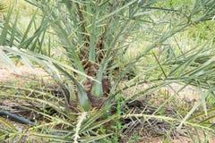 Piccolo albero della palma da datteri nell'agricoltura Fotografia Stock Libera da Diritti