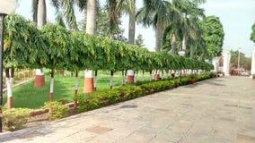 Piccolo albero di Ashok fotografia stock
