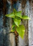 Piccolo albero di banyan sulla parete Fotografia Stock