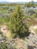 Piccolo albero di cedro b verde giallastra immagini stock