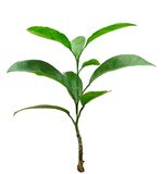 Piccolo albero di mandarino Fotografia Stock Libera da Diritti