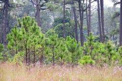 Piccolo albero di pino Immagini Stock Libere da Diritti