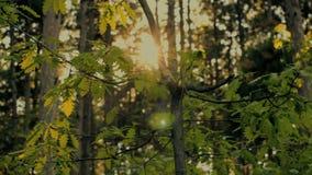 Piccolo albero di quercia stock footage