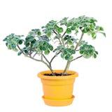 Piccolo albero pennuto Fotografia Stock