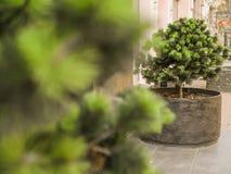 Piccolo albero urbano conifero che cresce in un letto di fiore su una grande via pedonale vicino al centro di affari fotografia stock